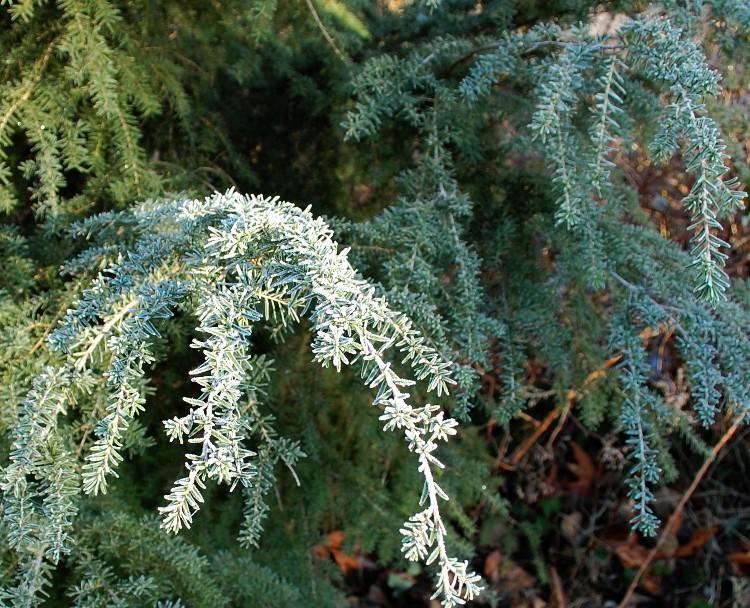 hemlock branches